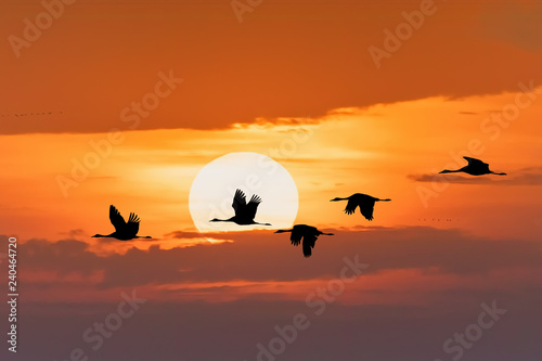 Poster de jardin Morning Glory silhouette of flying flock of Common Crane on morning sky, migration in the Hortobagy National Park, Hungary, puszta is famous ecosystems in Europe and UNESCO World Heritage Site