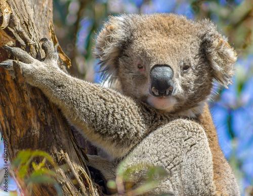 Canvas Prints Koala A cute koala in a tree, raymand island, australia