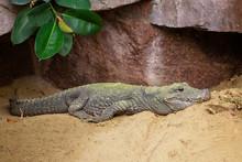 Chinese Alligator, Alligator S...