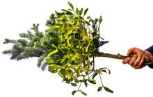 Mistletoe Growing On Fir Branch Close Up