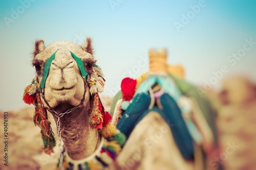 Camel lay with traditional Bedouin saddle in Egypt. Selective Focus.