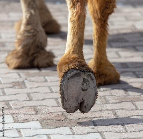 Spoed Fotobehang Kameel The hooves of a camel walking along the cobblestones