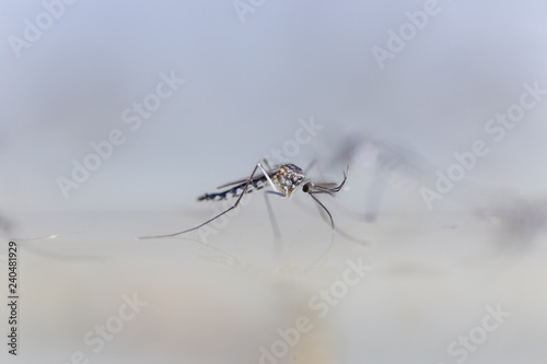 Mosquito Larva in the order Diptera, Anopheles sp Wallpaper Mural