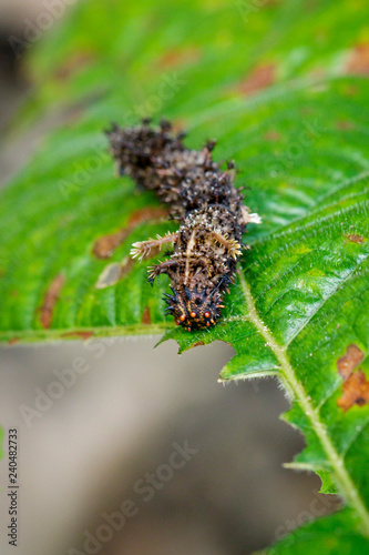 Image of a Caterpillar commander(Moduza procris) on green leaves. Insect. Animal