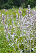 The Blossoming Lamb's Ears (a Stachys Woolly) (Stachys Byzantina K.Koch & Scheele). The Blossoming Escapes