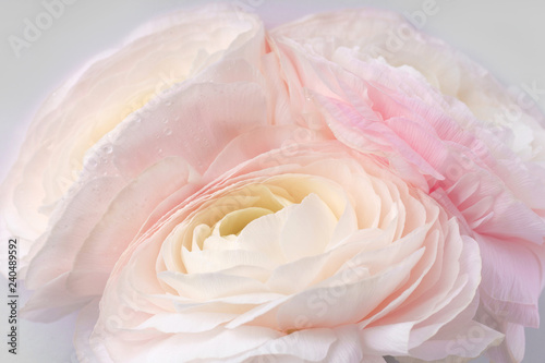 Poster Fleur Pink flowers on white background. Close up view. Ranunkulus flower