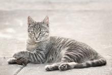 Striped European Cat Lying On ...