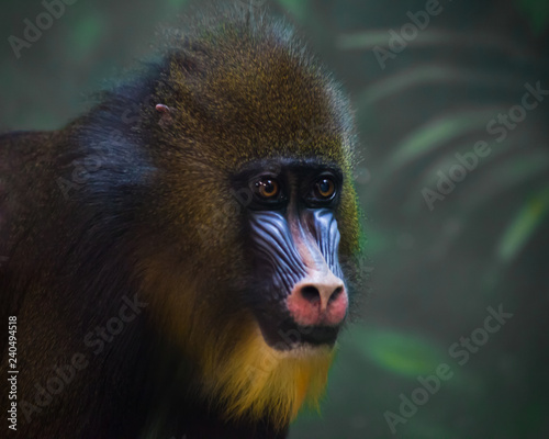 Poster Parrot A bright yellow and blue muzzle of a monkey madril with lush fur