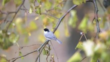 Slow Motion Of Chickadee Bird Perched On Tree Branch, High Angle View With Rain, Raining In Virginia, Chirping, Singing