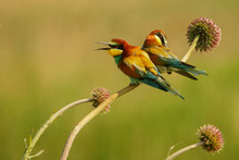 Two Birds On The Plant On A Green Background. European Bee-eater / Merops Apiaster