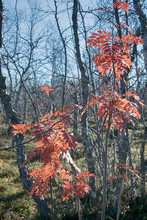 Red Rowan In The Deciduous For...