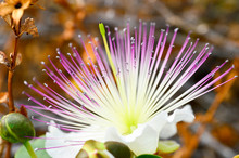 Large White Flower With Pink Stamens Shrub Myrtus. The Island Of Cyprus
