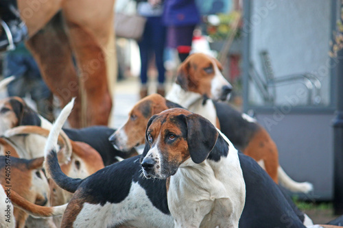 Foxhound hunt pack