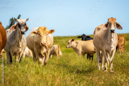 Beautiful cattle standing in the field of grass in farm Wallpaper Mural