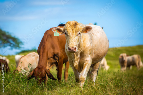 фотография  Beautiful cattle standing in the field of grass in farm