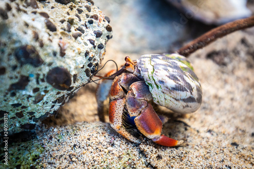 Fotomural Hermit Crab in seashell crawling on the shore