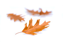 Brown Autumn Red Oak Leaves Is...
