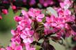 Pink flowers of ornamental apple tree