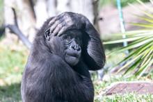 Comical Silverback Gorilla