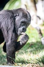 Silverback Gorilla Eating Grass.