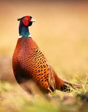 Ringneck Pheasant (Phasianus Colchicus)