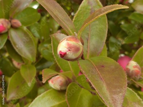 Fotografie, Obraz  山茶花の可愛い蕾