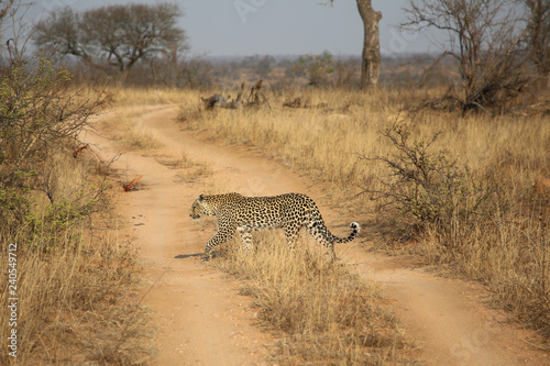 Photo  African leopard at Kruger National Park