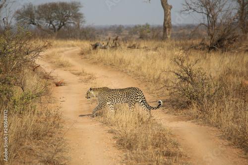 Photo  African leopard at Kruger National Park