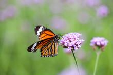 Butterfly On Verbena Flower