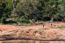 Herd Of Springbuck