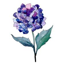 Blue Purle Hydrangea Botanical...