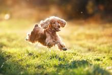 English Cocker Spaniel Run And...