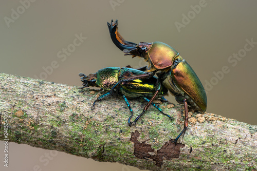 Tuinposter Hert Stag beetle - Lamprima adolphinae