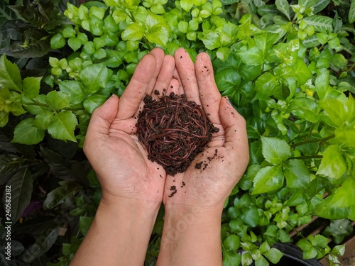 Foto op Canvas Olijfboom Asian female hand holding up African night crawler (Eudrilus eugeniae) composting worms with green foliage in the background