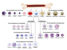 Blood Cells Erythrocyte Develo...