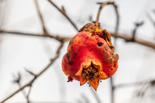 Pomegranate Rotting On Tree Branch In Nature