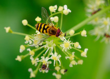 Albania, Common Banded Hoverfly, Syrphus Ribesii, On Flower