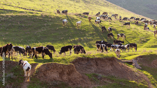 Herd of cows grazing in the hills in the spring Canvas Print