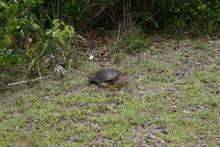 Schildkröte Am Straßenrand In Florida - Everglades
