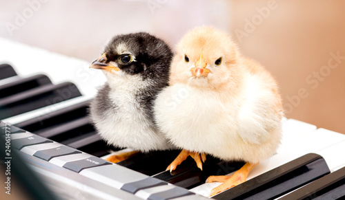 Photo  Two small chicks on the piano keys