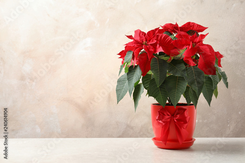 Pot with poinsettia (traditional Christmas flower) on table against color background. Space for text