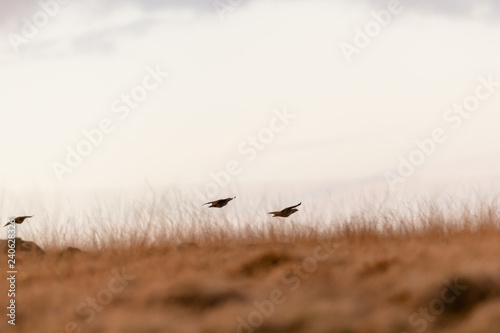 Photo Wild Red-legged Partridge in natural habitat of reeds and grasses on moorland in