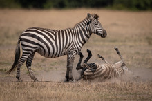 Plains Zebra Rolling In Dust B...
