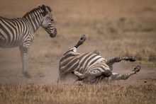 Plains Zebra Rolls On Back Beside Mother