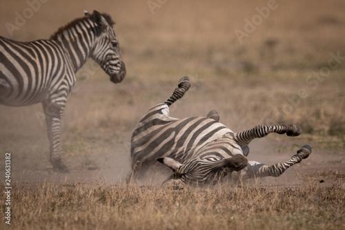 Poster Zebra Plains zebra rolls on back beside mother