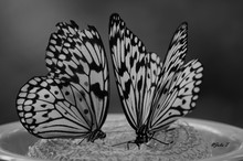 Rice Paper Butterfly  Black An...