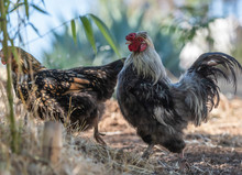 Bantam Rooster And Golden Laced Wyandotte Hen Chicken