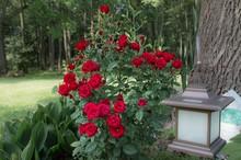 Red Mini Rose Bush In Summer