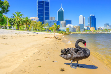 Male Black Swan on the shoreline of Swan River in Perth, Western Australia. Perth city skyline with its modern skyscrapers on blurred background. Sunny day, blue sky. Summer season.