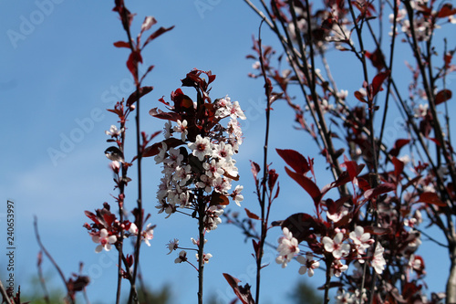 Purple Leaf Sand Cherry Or Dwarf Red Leaf Plum Prunus Cistena